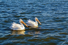 avifauna holandii pary parka pelikany Zdjęcie Royalty Free