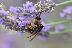 Avispón asiático que mata a una abeja Fotos de archivo