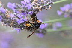 Avispón asiático que mata a una abeja Imágenes de archivo libres de regalías