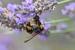 Avispón asiático que mata a una abeja Fotografía de archivo