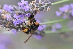 Avispón asiático que mata a una abeja Imagen de archivo