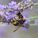 Avispón asiático que mata a una abeja Fotografía de archivo libre de regalías