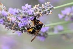 Avispón asiático que mata a una abeja Foto de archivo libre de regalías