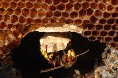 Avispón (crabro del Vespa) en una jerarquía. Fotos de archivo libres de regalías