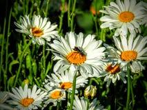Avispón de la abeja negra en Daisy Flower en Utah América los E.E.U.U. Foto de archivo libre de regalías