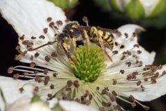 Avispón en la flor blanca Fotos de archivo libres de regalías
