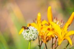 Avispón en la flor de la cebolla del jardín Fotos de archivo libres de regalías