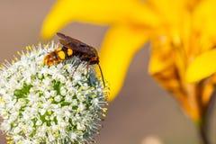 Avispón en la flor de la cebolla del jardín Imagen de archivo libre de regalías
