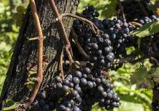 Avispón europeo en las uvas azules Fotografía de archivo libre de regalías