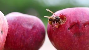 Avispón europeo grande que come la manzana sabrosa dulce madura Avispa que alimenta con la fruta Insecto que estropea la cosecha almacen de metraje de vídeo