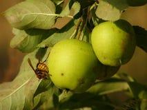 Avispón europeo sobre el detalle de la manzana fotos de archivo