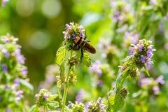 Avispón grande de Nsect en la flor del campo Foto de archivo