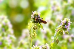Avispón grande del insecto en la flor del campo Fotografía de archivo libre de regalías