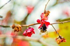 Avispón negro grande en la flor roja en la puesta del sol el día soleado de la primavera Imagen de archivo libre de regalías