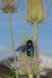 Avispón negro mientras que chupa el polen Fotografía de archivo