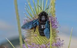 Avispón negro mientras que chupa el polen Imagenes de archivo