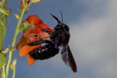 Avispón negro mientras que chupa el polen Imagen de archivo libre de regalías