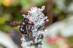 Avispón negro mientras que chupa el polen del oído del cordero Fotos de archivo libres de regalías