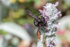 Avispón negro mientras que chupa el polen del oído del cordero Imágenes de archivo libres de regalías