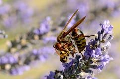 Avispón que come la abeja Imágenes de archivo libres de regalías