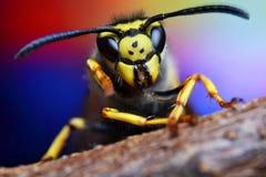 Avispón salvaje de la macro de la naturaleza de la mosca de la avispa de la abeja del insecto Fotos de archivo