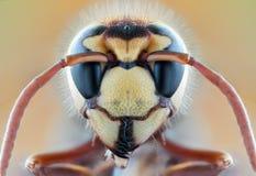 Avispón salvaje de la macro de la naturaleza de la mosca de la avispa de la abeja del insecto Foto de archivo