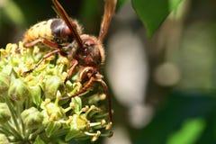 Avispón y abeja en la flor Imágenes de archivo libres de regalías