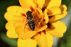 Avispón y abeja en la flor Fotos de archivo libres de regalías