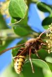 Avispón y abeja en la flor Imagen de archivo