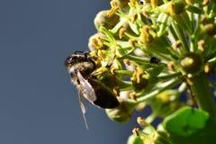 Avispón y abeja en la flor Fotografía de archivo