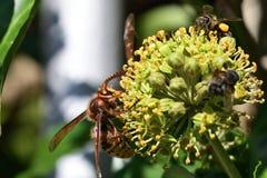 Avispón y abeja en la flor Foto de archivo