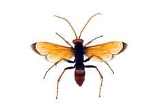 Avispa, alfarero anaranjado Imagen de archivo