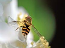 Avispa amarilla Imagen de archivo libre de regalías