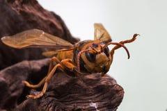 Avispa anaranjada, insecto Fotos de archivo libres de regalías
