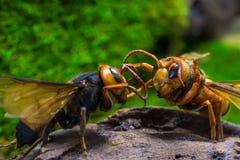 Avispa anaranjada, insecto Fotografía de archivo