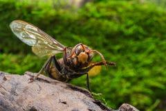 Avispa anaranjada, insecto Imágenes de archivo libres de regalías