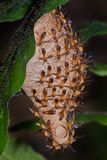 Avispa - Angiopolybia Fotos de archivo