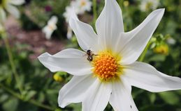 Avispa con el cierre amarillo blanco de la flor fotografía de archivo