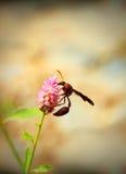 Avispa de Brown que busca para el néctar en una flor rosada en un jardín Foto de archivo libre de regalías