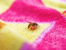 Avispa de la abeja que come el jamón de Parma Foto de archivo libre de regalías