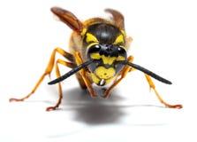 Avispa de la chaqueta amarilla Imágenes de archivo libres de regalías
