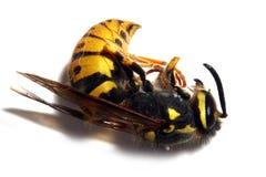 Avispa de la chaqueta amarilla Imagenes de archivo