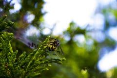 Avispa de la chaqueta amarilla cogida en spiderweb del jardín Fotos de archivo libres de regalías