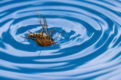 Avispa de la matanza de la araña Fotos de archivo libres de regalías
