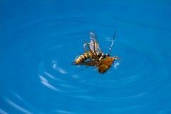 Avispa de la matanza de la araña Fotografía de archivo libre de regalías