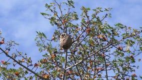 Avispa del avispón en jerarquía en el árbol con el cielo azul almacen de video