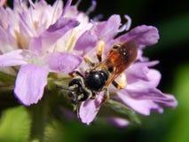 Avispa en cardos del prado de la flor Fotos de archivo