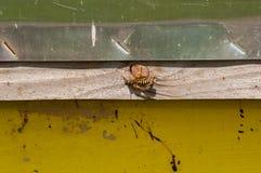 Avispa en el colmenar en naturaleza insecto En naturaleza intruso imagen de archivo