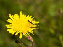 Avispa en la flor Fotos de archivo