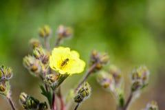 Avispa en la flor amarilla Imagenes de archivo